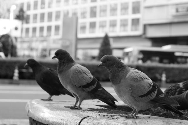 渋谷のハト