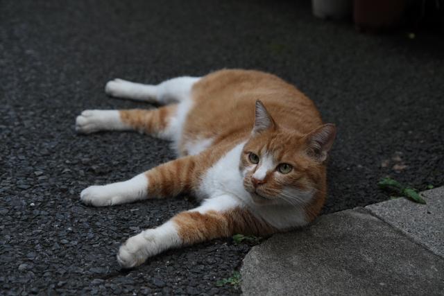 根津のネコ